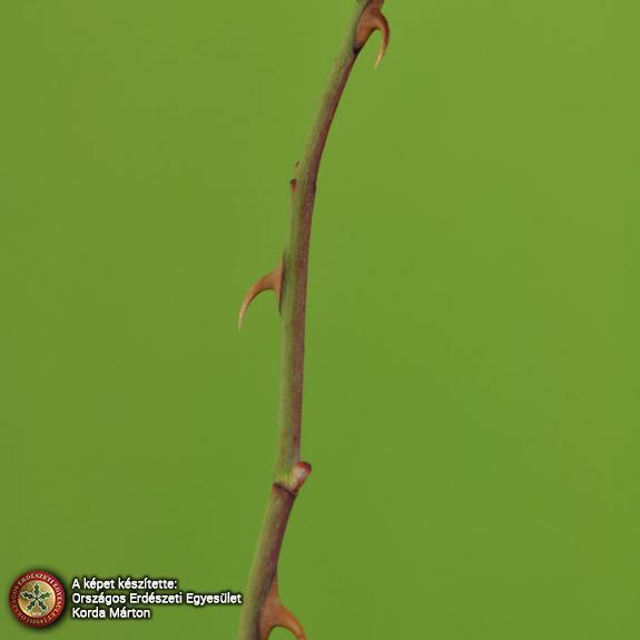 Gyepűrózsa