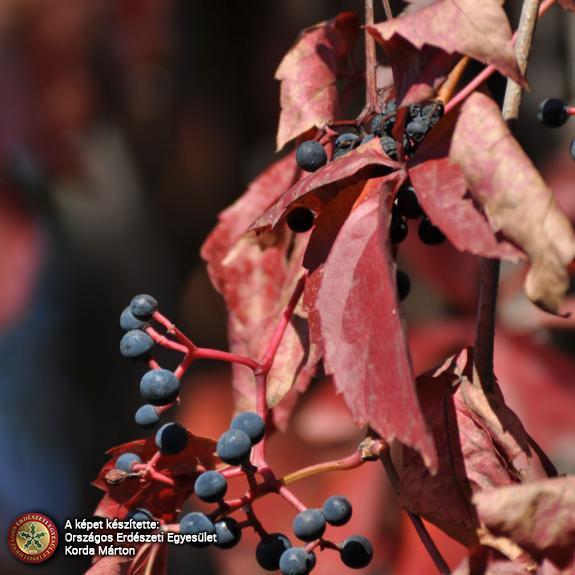 Közönséges vadszőlő