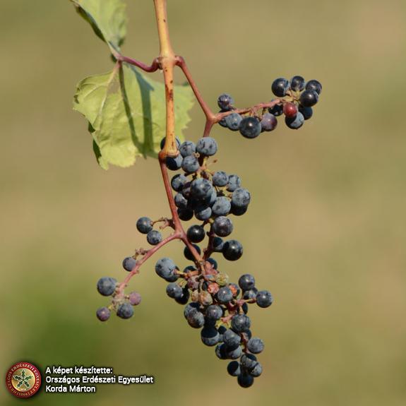 Parti szőlő